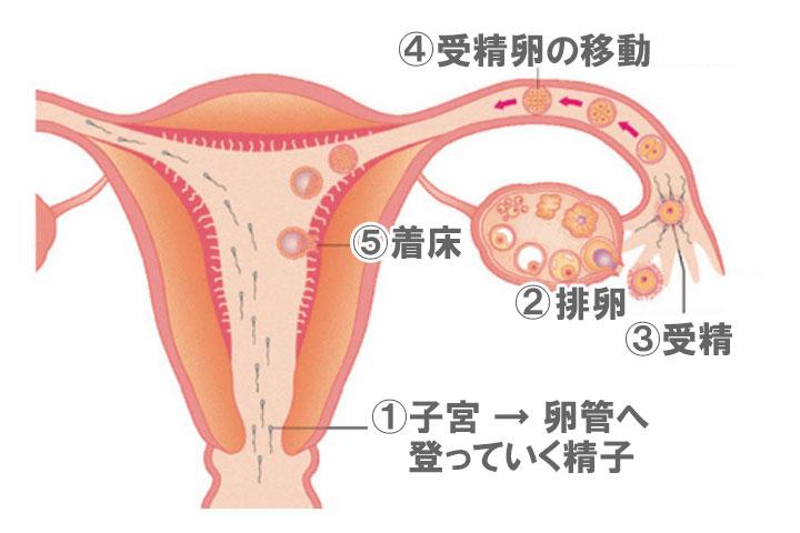 受精と着床